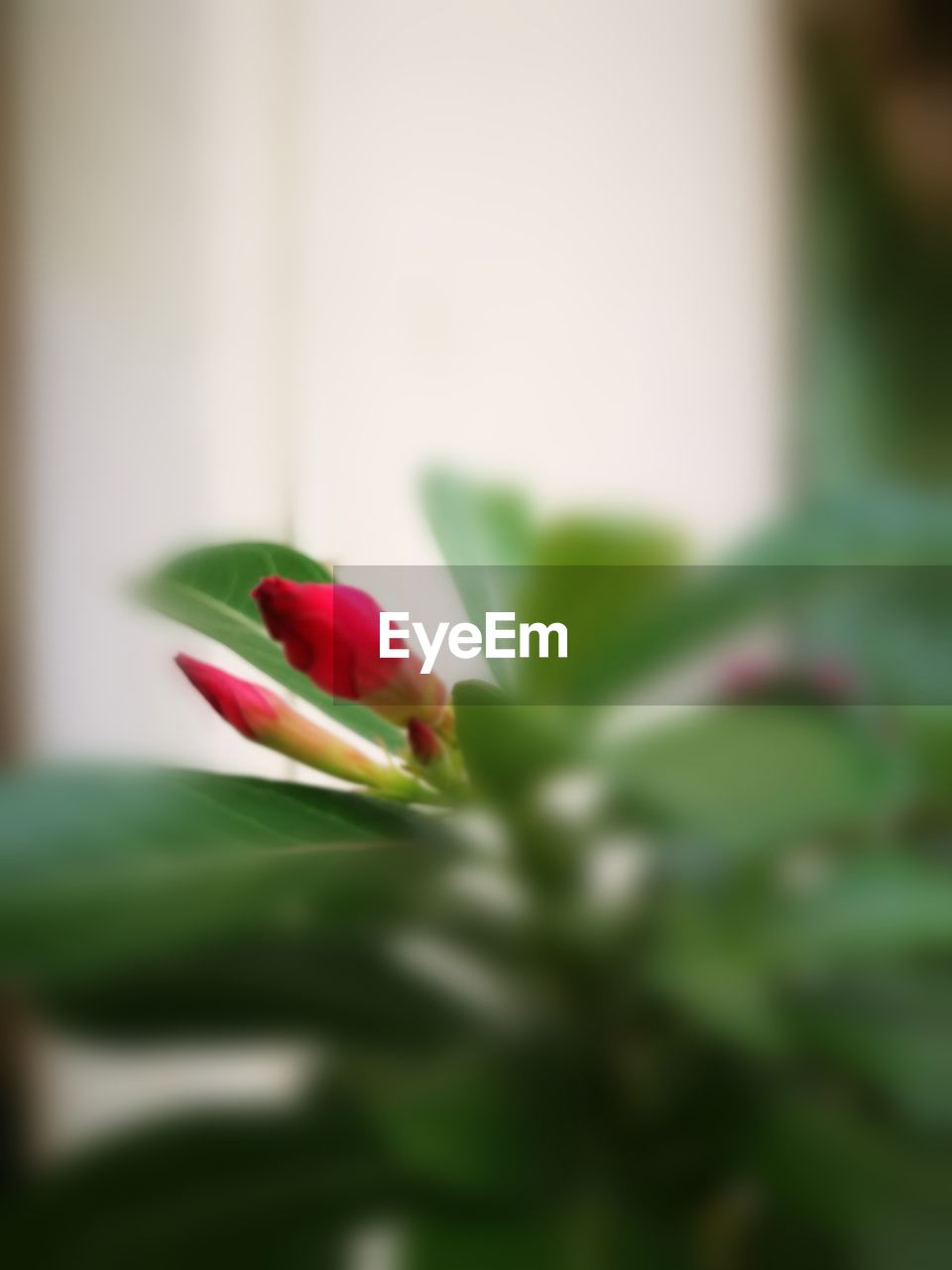 flower, fragility, petal, beauty in nature, freshness, nature, selective focus, growth, green color, flower head, rose - flower, no people, close-up, red, plant, day, outdoors