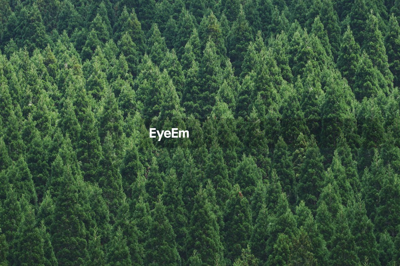 green color, tree, forest, nature, lush foliage, pine tree, backgrounds, plant, full frame, woodland, growth, no people, day, spruce tree, pinaceae, outdoors, fir tree, beauty in nature, leaf, close-up, freshness