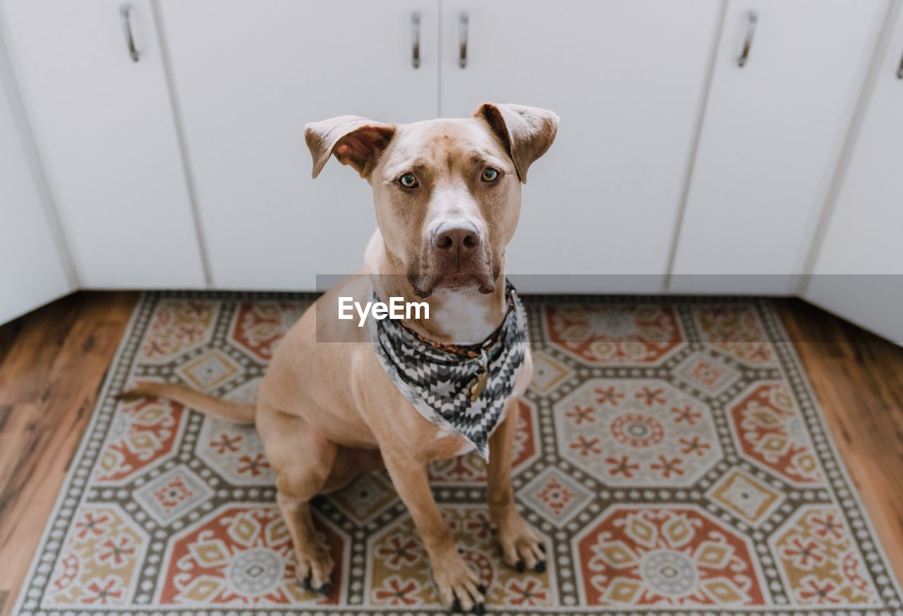 High Angle Portrait Of Pit Bull Terrier On Rug At Home