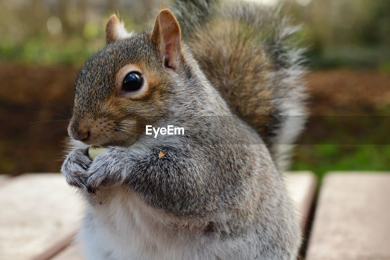 animal themes, animal, animal wildlife, mammal, one animal, rodent, focus on foreground, close-up, animals in the wild, no people, vertebrate, day, squirrel, eating, outdoors, whisker, nature, side view, pets, land, herbivorous