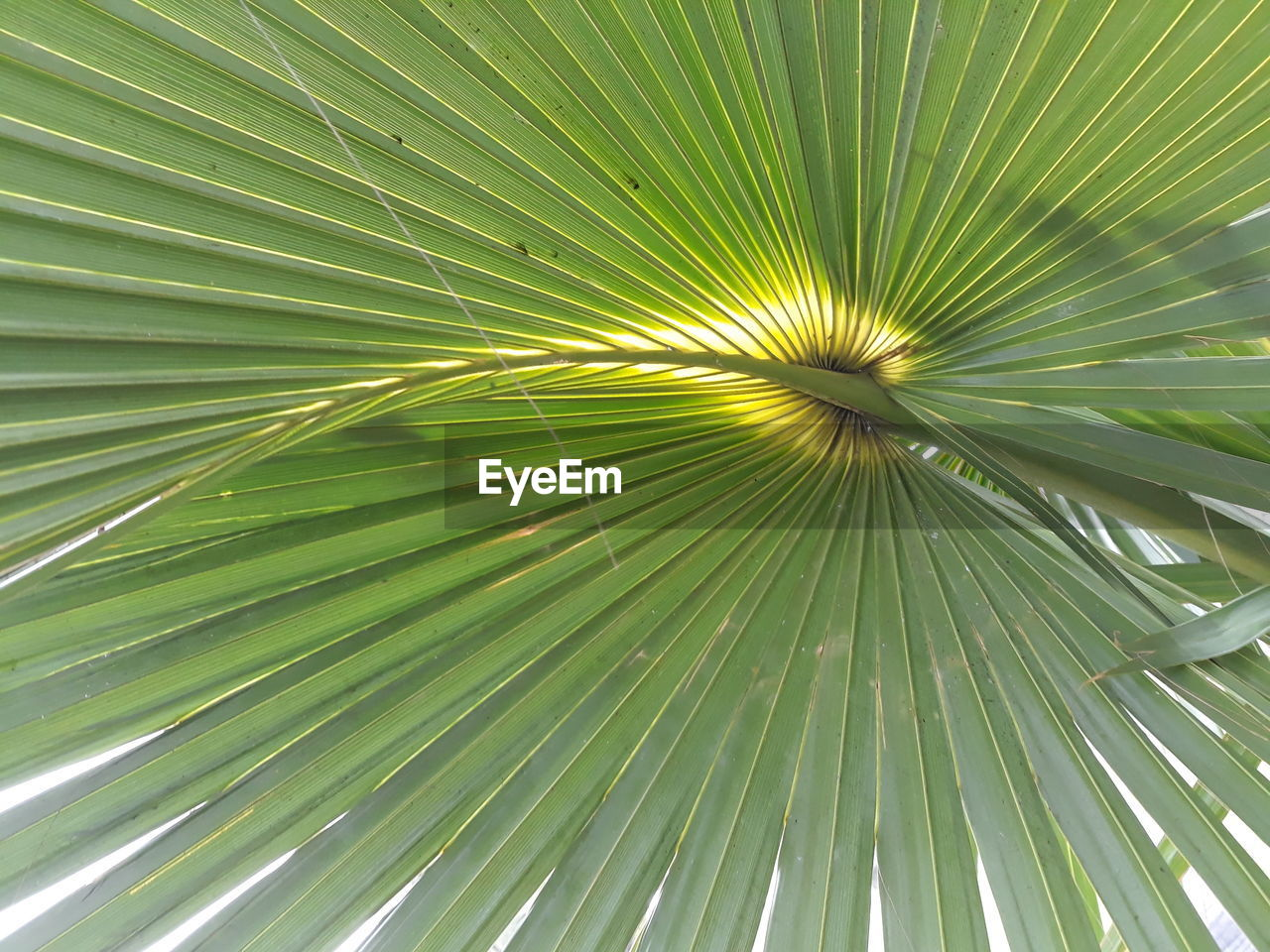 leaf, green color, plant part, full frame, growth, palm tree, backgrounds, close-up, palm leaf, pattern, tropical climate, no people, beauty in nature, plant, tree, nature, day, natural pattern, frond, outdoors, directly below, rainforest