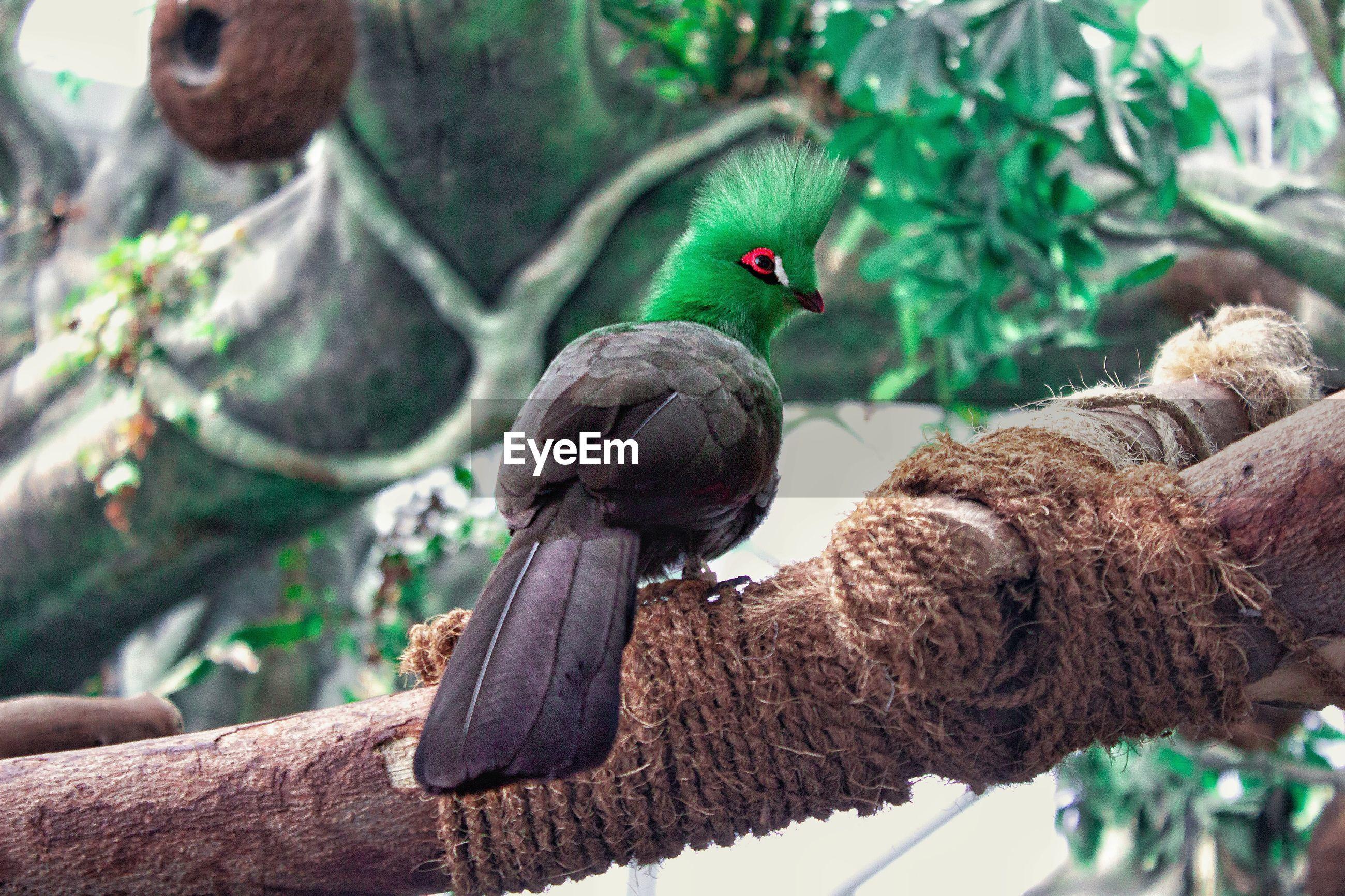 Shy green bird