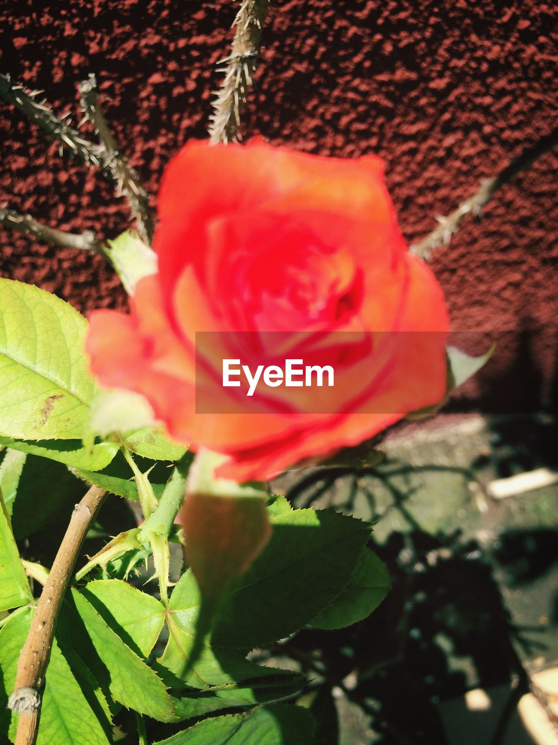 flower, petal, growth, freshness, flower head, fragility, leaf, plant, red, beauty in nature, close-up, rose - flower, nature, single flower, blooming, focus on foreground, in bloom, outdoors, day, stem