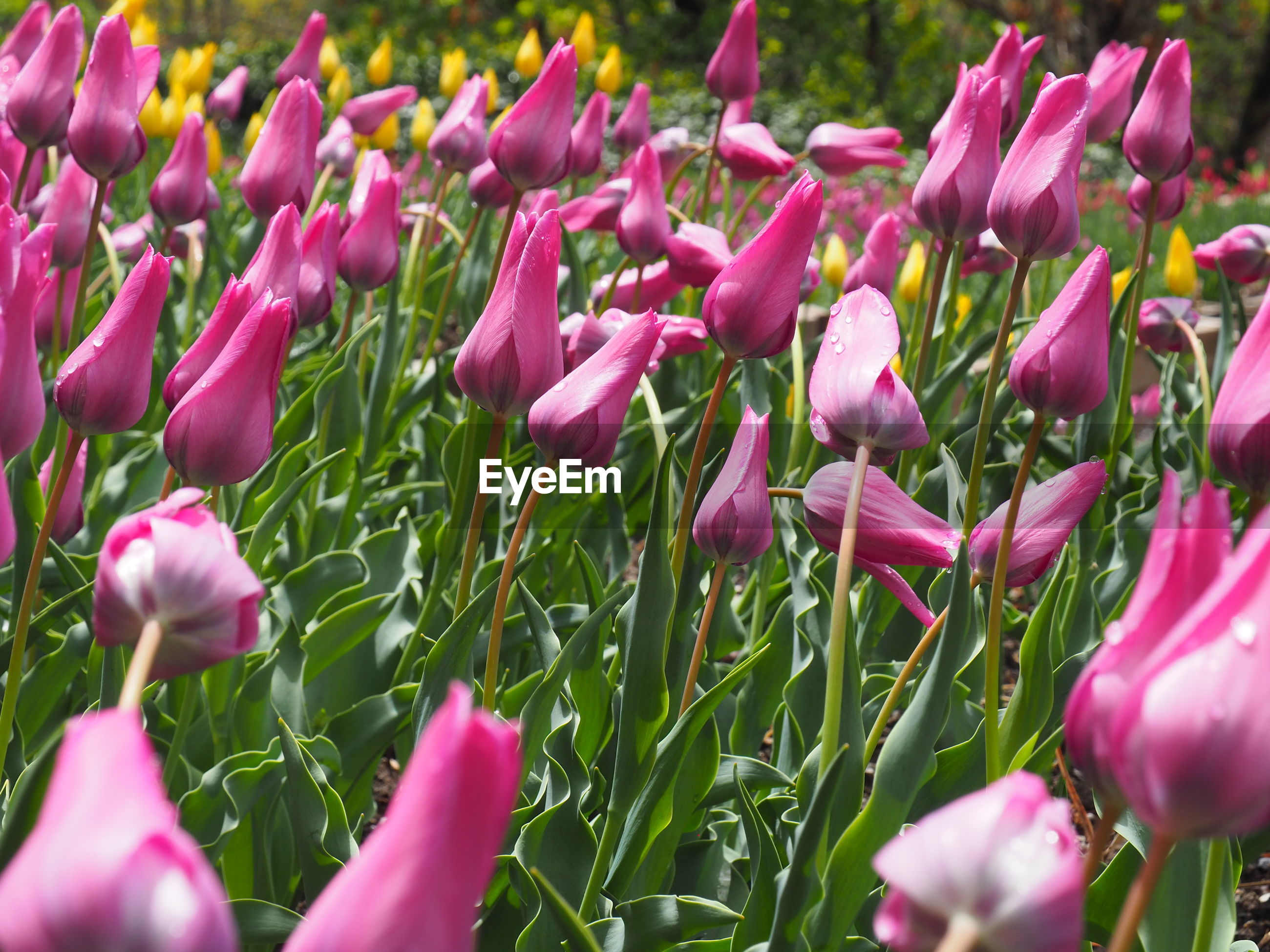flower, flowering plant, plant, beauty in nature, freshness, pink color, vulnerability, growth, petal, fragility, close-up, selective focus, tulip, inflorescence, nature, flower head, day, no people, land, outdoors, purple