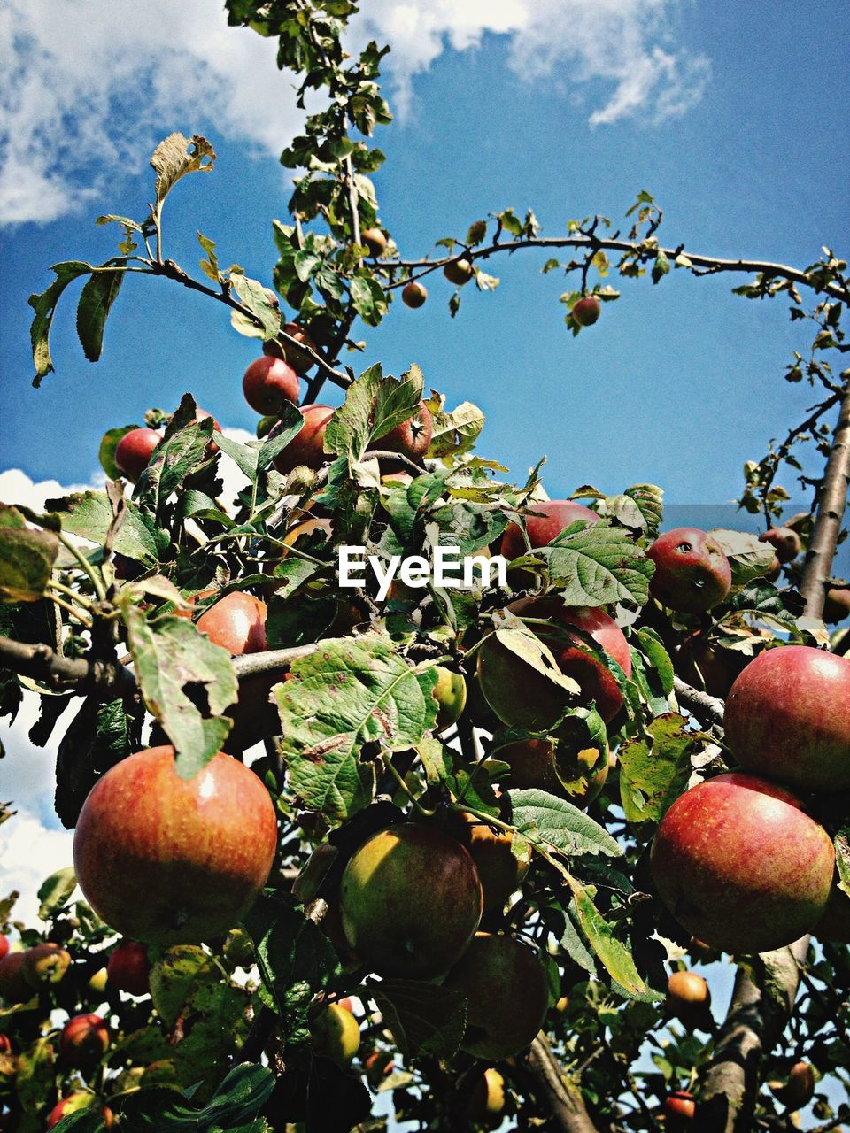 Low angle view of apple tree