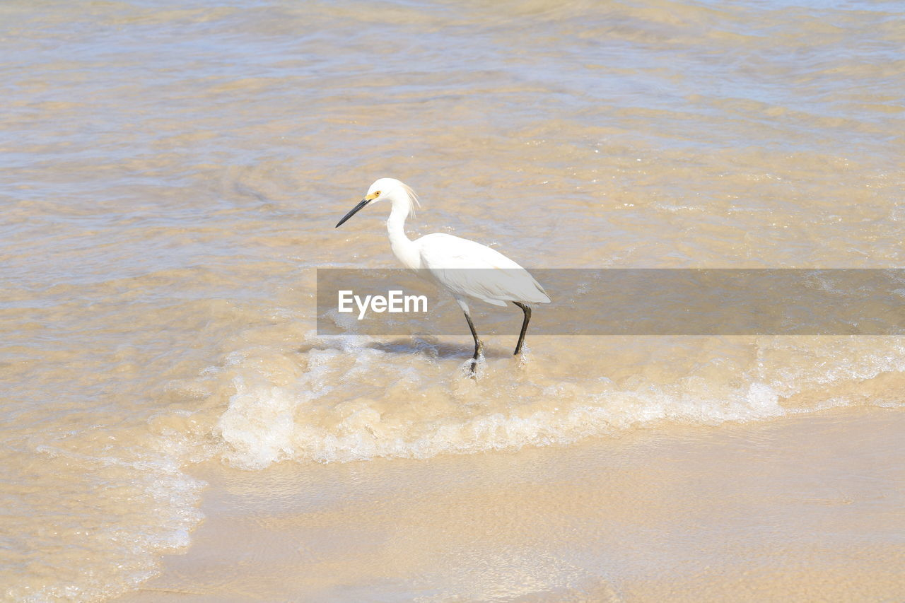 one animal, animals in the wild, bird, animal themes, white color, water, animal wildlife, nature, waterfront, day, great egret, no people, outdoors