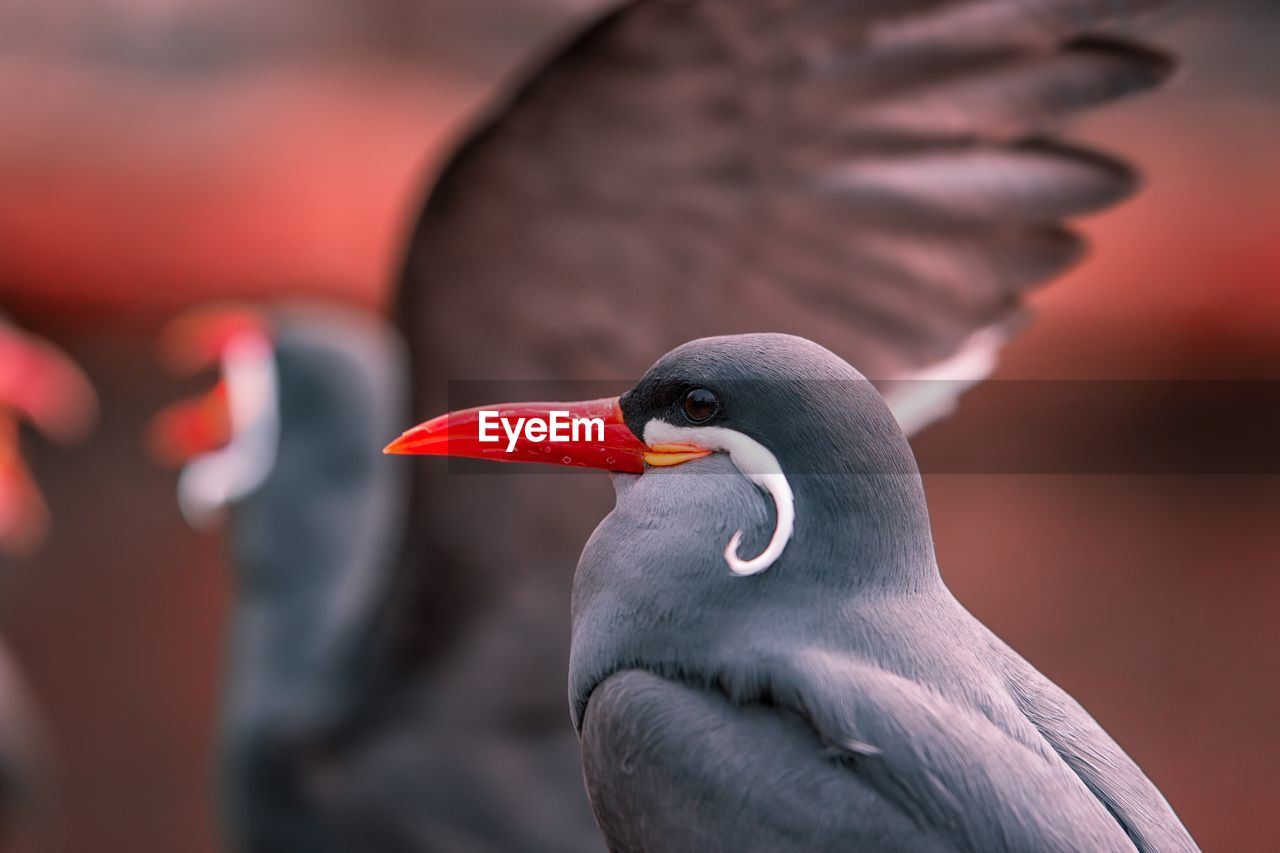 animal themes, vertebrate, bird, animals in the wild, animal, animal wildlife, one animal, focus on foreground, close-up, beak, no people, day, animal body part, orange color, red, nature, outdoors, looking away, animal head, beauty in nature, profile view, animal neck, animal eye