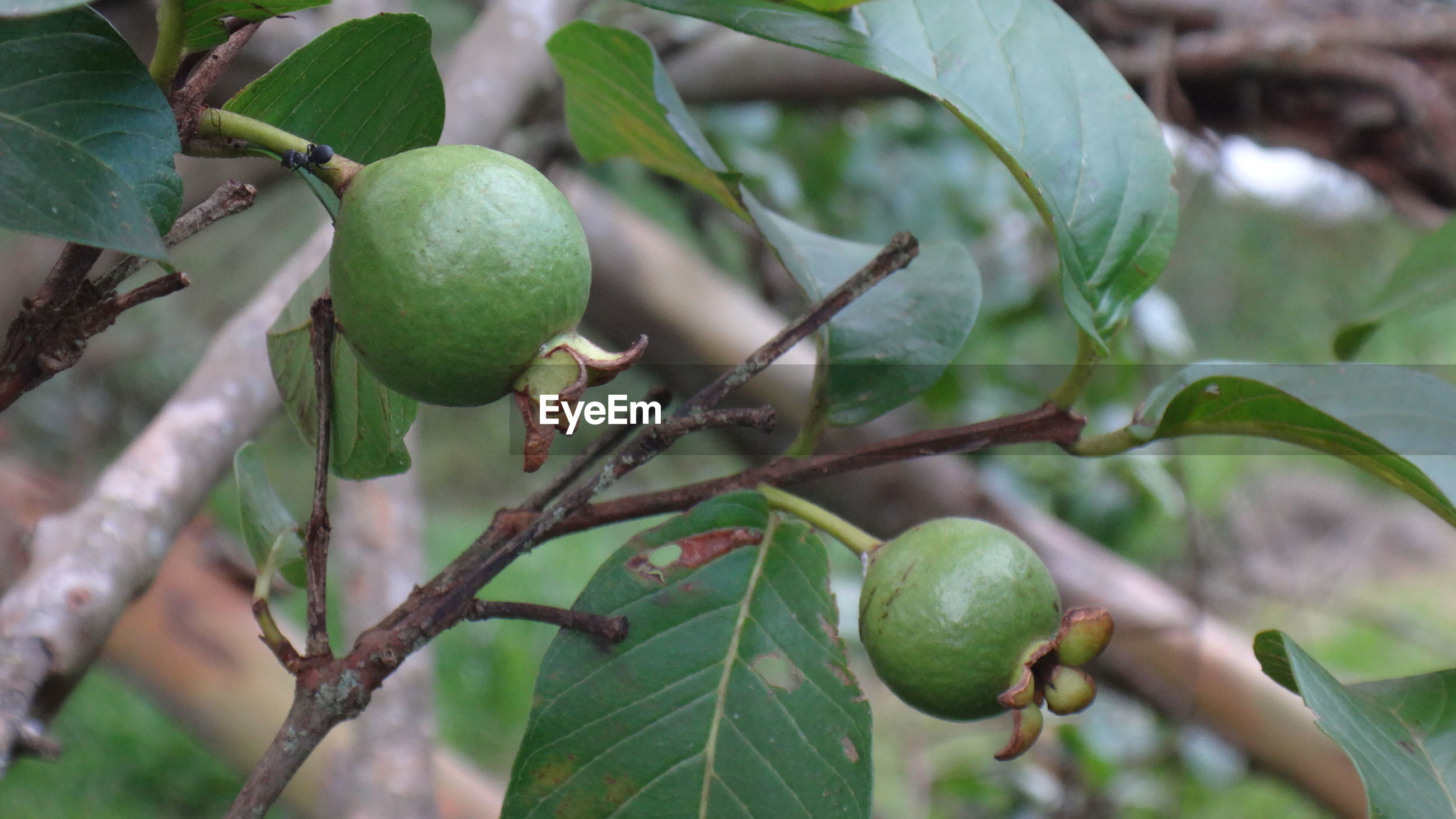 Close-up of fruits growing outdoors