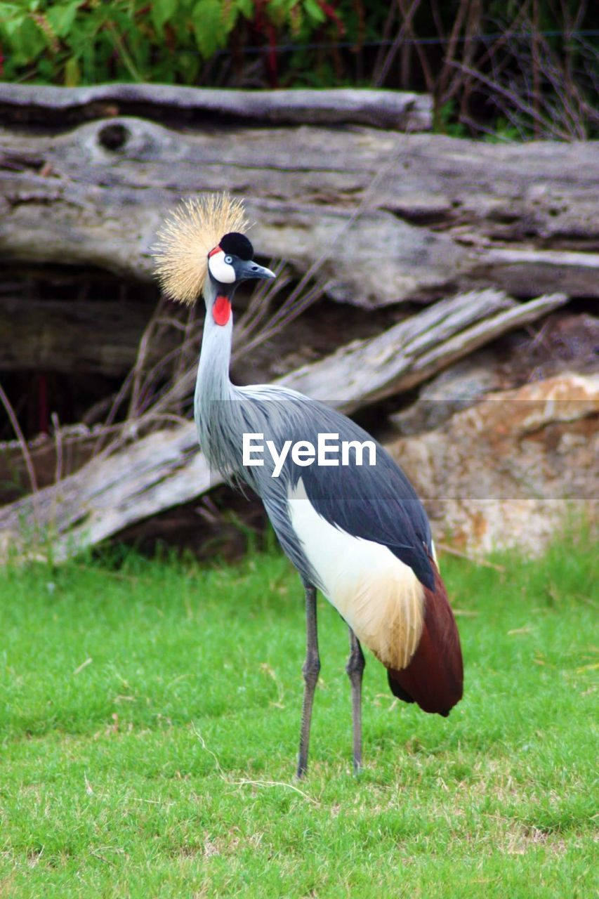 animals in the wild, vertebrate, animal themes, bird, animal, animal wildlife, one animal, grass, plant, nature, field, land, no people, crane - bird, day, focus on foreground, outdoors, full length, green color, perching
