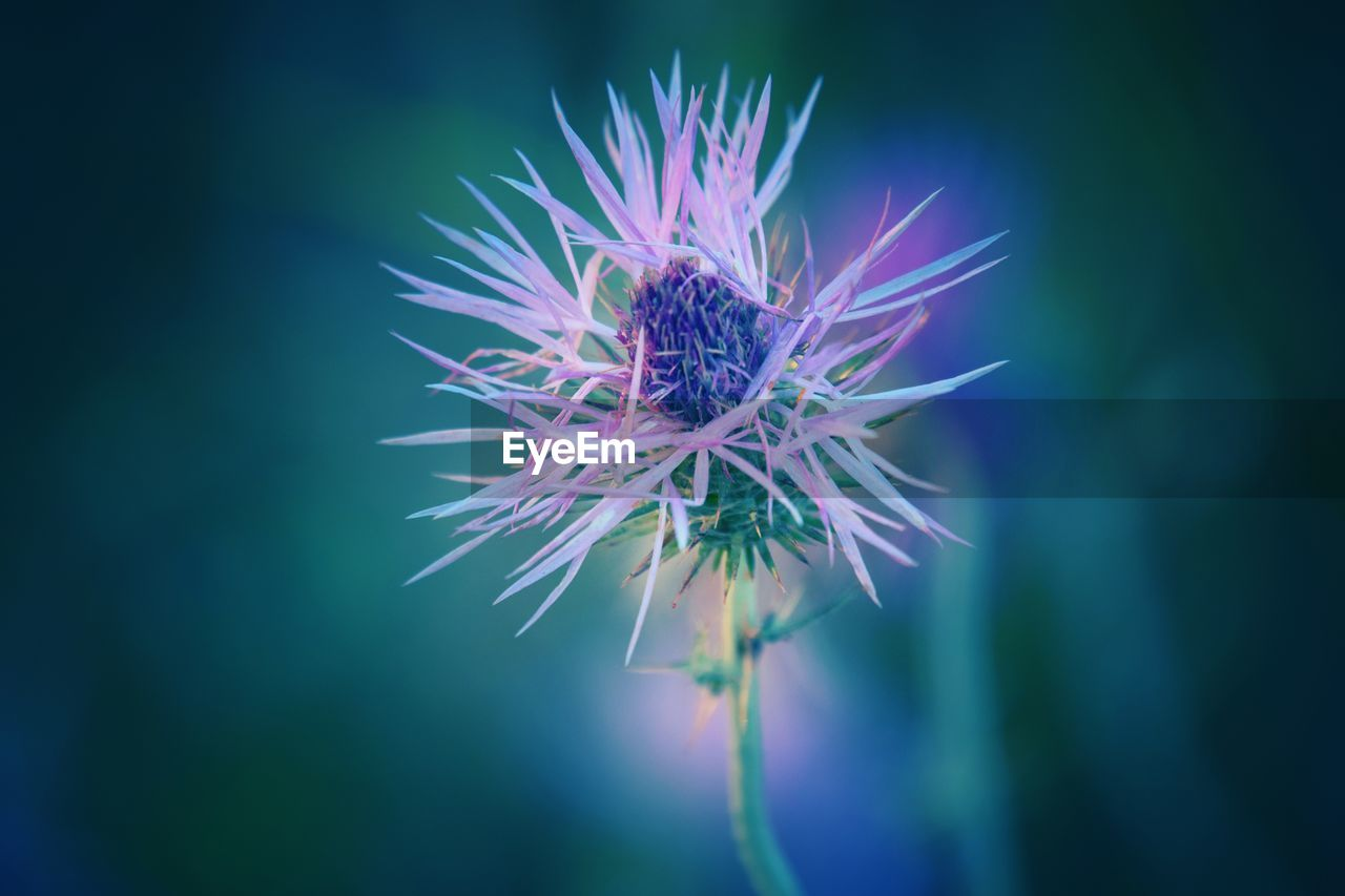 flower, flowering plant, plant, beauty in nature, fragility, freshness, vulnerability, growth, close-up, inflorescence, nature, flower head, purple, petal, no people, day, focus on foreground, selective focus, blue, outdoors, spiky, sepal