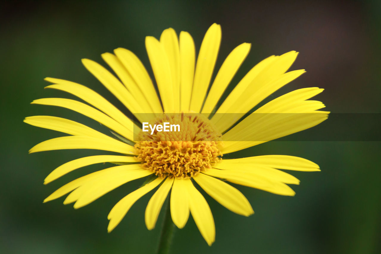 flower, flowering plant, yellow, vulnerability, fragility, flower head, inflorescence, freshness, plant, beauty in nature, petal, close-up, growth, no people, pollen, nature, focus on foreground, dandelion, selective focus