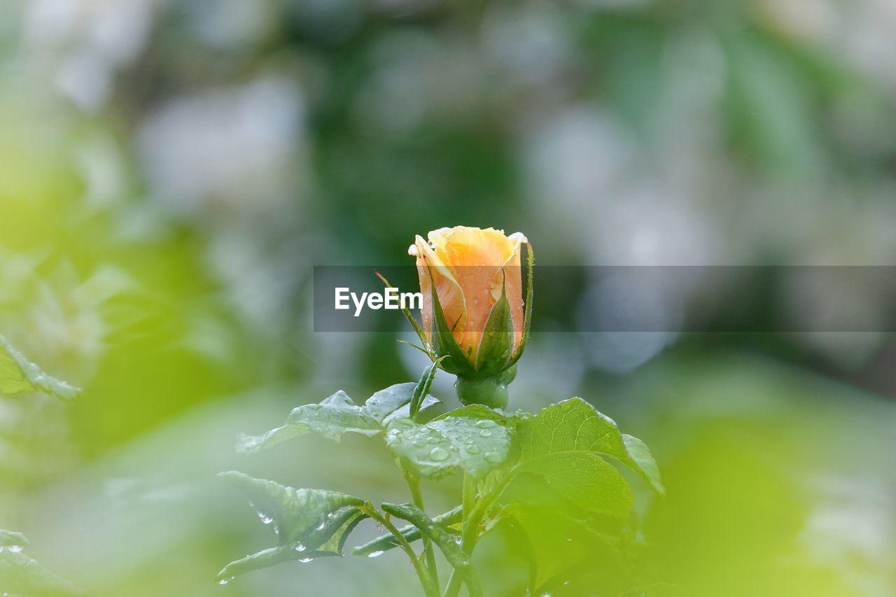 Rose blooming on field