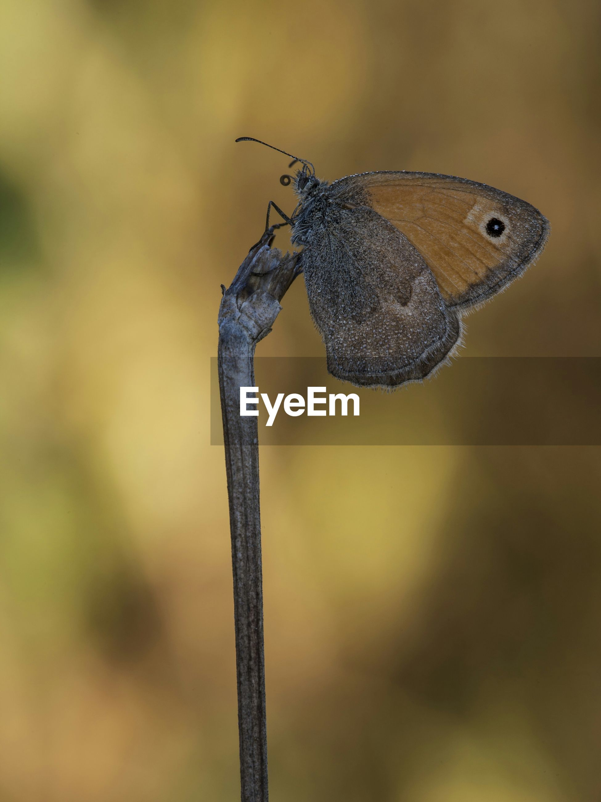 one animal, animal themes, animals in the wild, insect, wildlife, focus on foreground, close-up, animal wing, butterfly, butterfly - insect, nature, dragonfly, beauty in nature, zoology, selective focus, day, perching, full length, animal antenna, outdoors