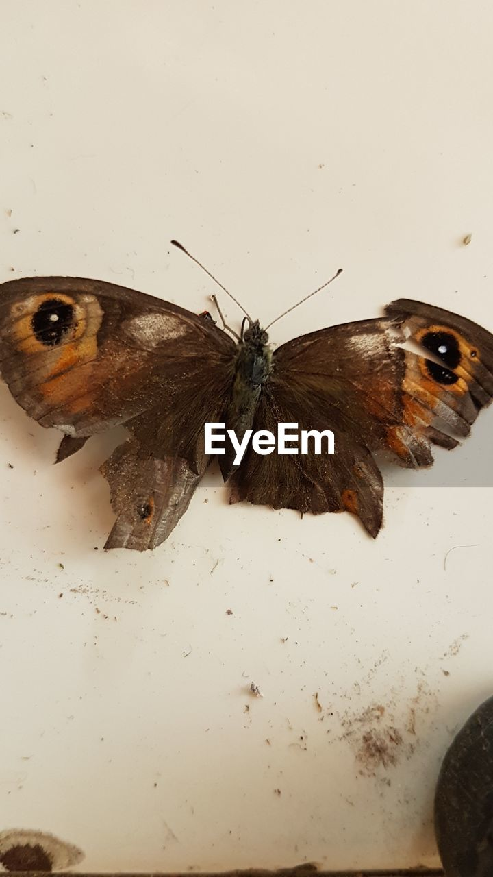 insect, animal, animal themes, invertebrate, one animal, animals in the wild, animal wildlife, close-up, animal wing, no people, indoors, high angle view, animal antenna, animal body part, butterfly - insect, moth, zoology, arthropod, nature, butterfly