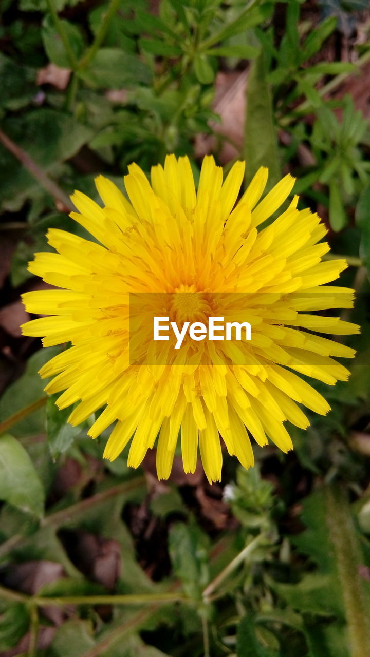 yellow, flower, flowering plant, plant, fragility, vulnerability, freshness, flower head, petal, inflorescence, beauty in nature, close-up, growth, focus on foreground, nature, day, dandelion, no people, land, outdoors, pollen
