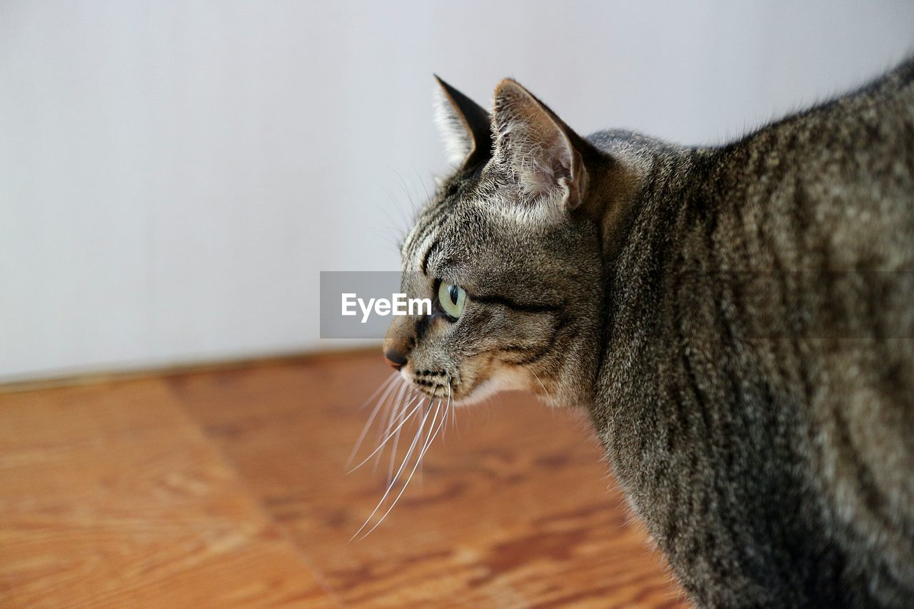 feline, mammal, cat, domestic animals, one animal, pets, animal themes, animal, domestic, domestic cat, vertebrate, indoors, close-up, looking away, no people, whisker, side view, eyes closed, looking, focus on foreground, tabby, profile view, animal head