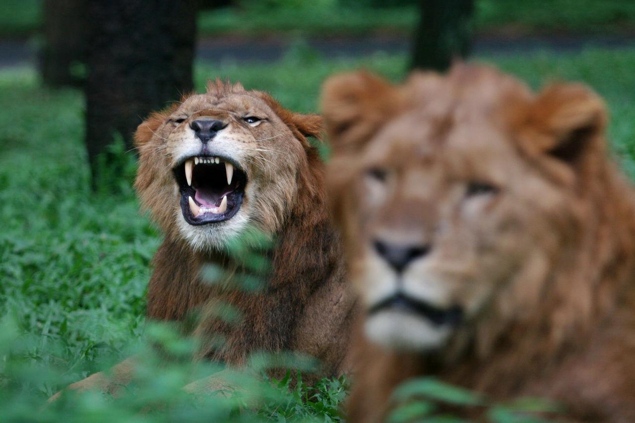 Lion Roaring On Field