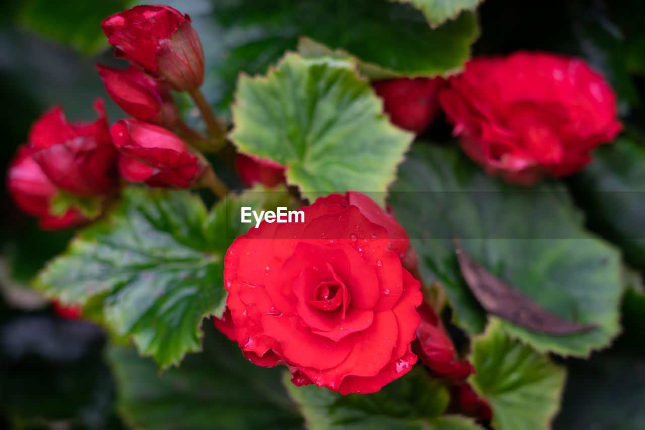 beauty in nature, flower, red, flowering plant, petal, plant, freshness, close-up, vulnerability, growth, fragility, flower head, inflorescence, rose, nature, rose - flower, leaf, plant part, no people, focus on foreground, outdoors