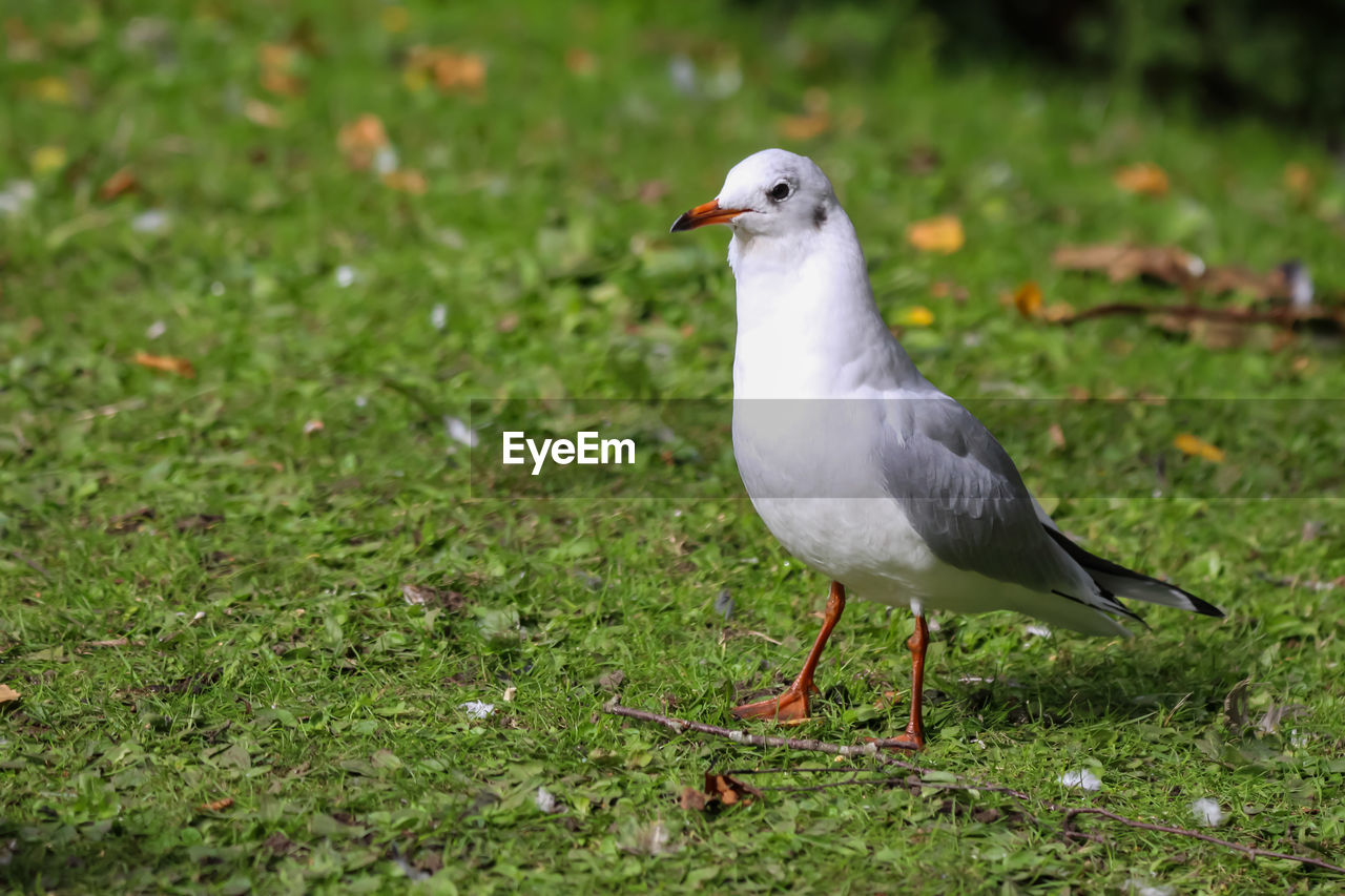 bird, animal themes, animal wildlife, animals in the wild, animal, vertebrate, one animal, grass, land, field, seagull, plant, no people, green color, nature, day, perching, side view, focus on foreground, selective focus