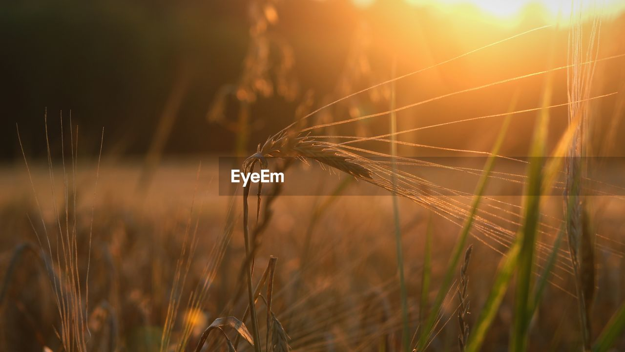 plant, growth, crop, cereal plant, field, agriculture, land, nature, sunset, beauty in nature, close-up, wheat, rural scene, sunlight, farm, focus on foreground, tranquility, landscape, sun, no people, outdoors, lens flare, stalk