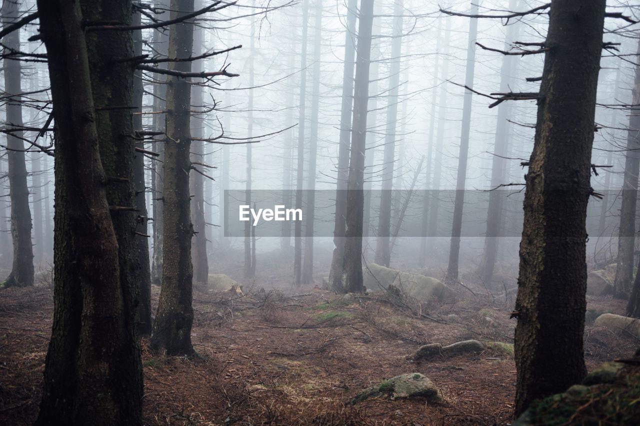 tree, tree trunk, trunk, forest, land, plant, woodland, fog, environment, nature, tranquil scene, beauty in nature, non-urban scene, tranquility, no people, landscape, scenics - nature, growth, day, outdoors, hazy
