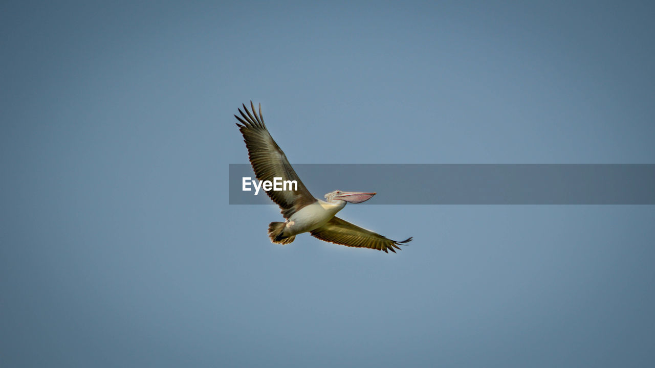 animal wildlife, animals in the wild, flying, animal themes, bird, animal, vertebrate, one animal, spread wings, low angle view, sky, clear sky, mid-air, copy space, blue, motion, nature, no people, day, bird of prey, outdoors, seagull, eagle