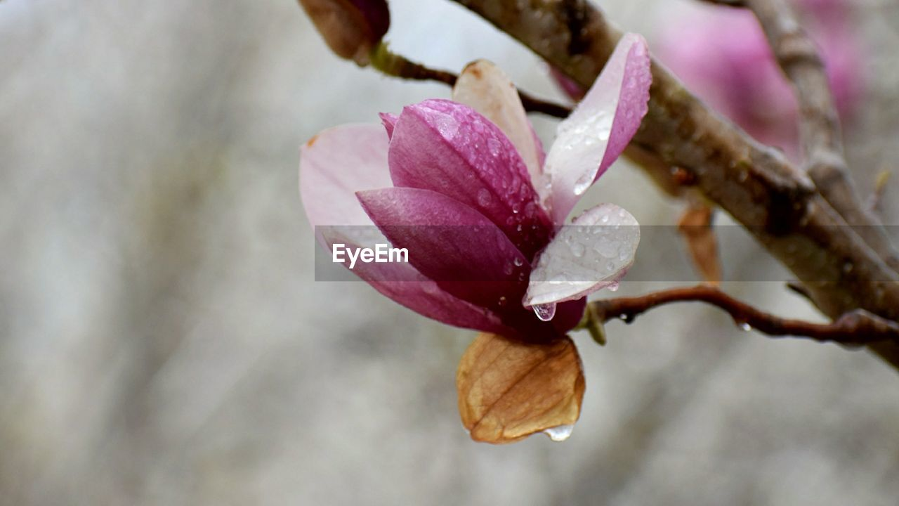 plant, flower, flowering plant, beauty in nature, vulnerability, fragility, close-up, petal, growth, freshness, pink color, nature, no people, focus on foreground, inflorescence, flower head, day, outdoors, water, springtime, purple, purity, dew, raindrop