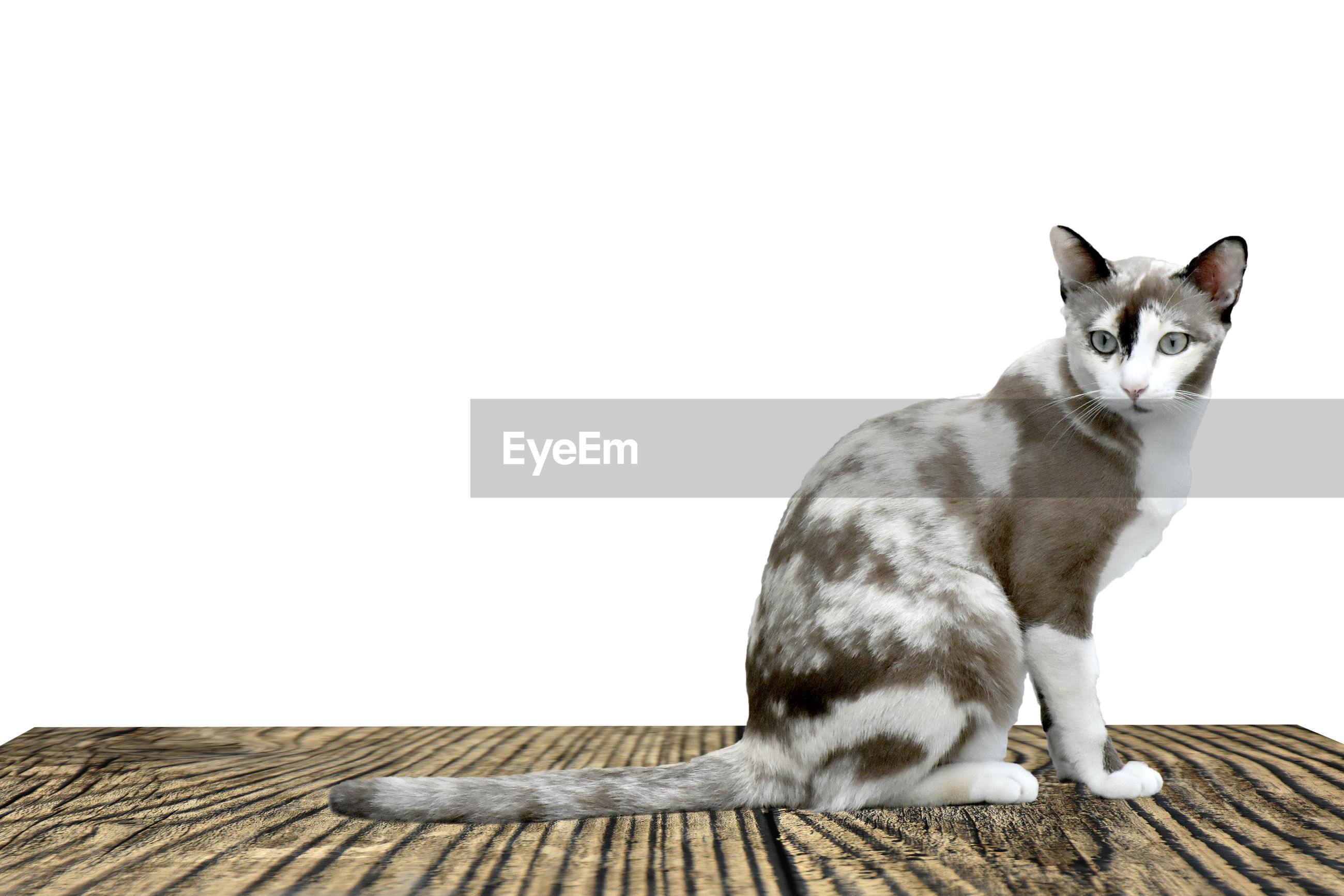 Portrait of cat sitting on wood against white background