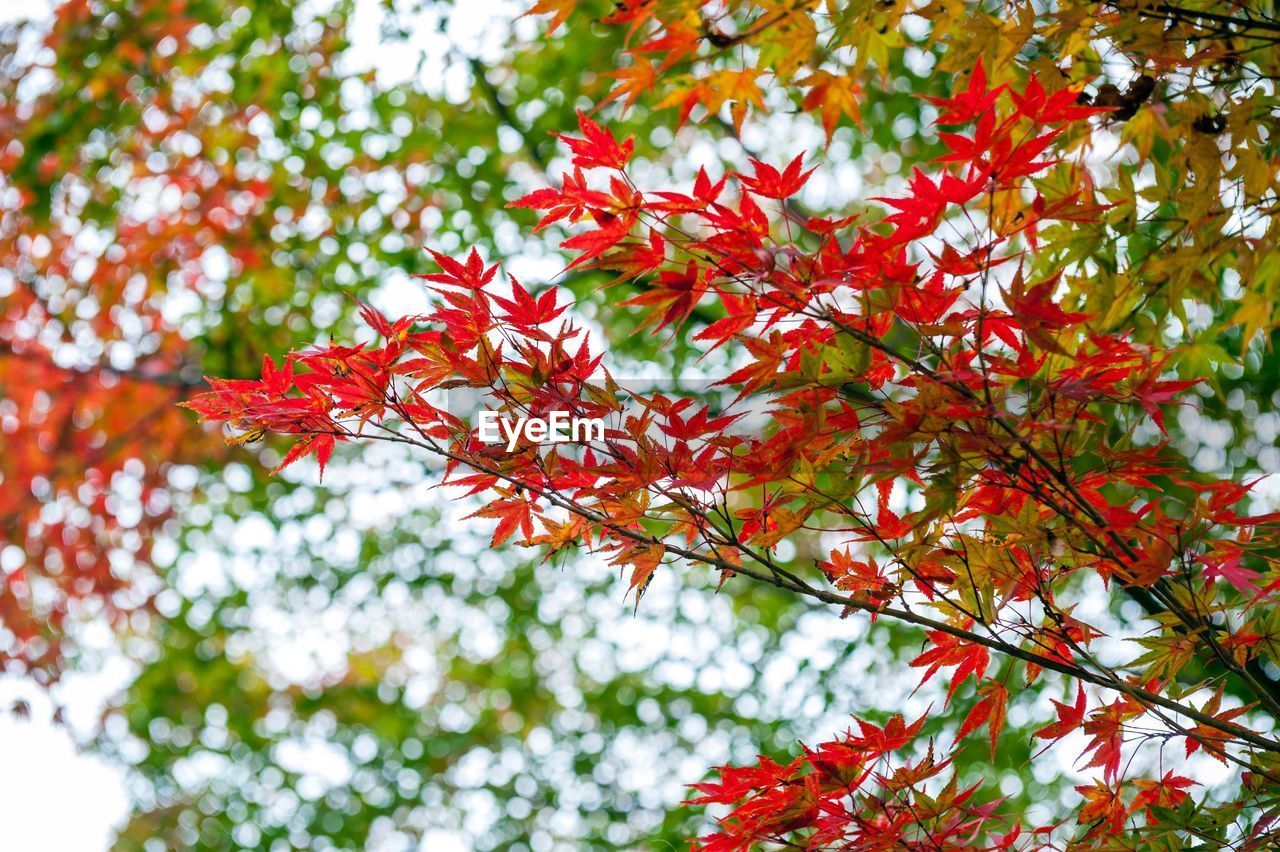 autumn, leaf, change, nature, beauty in nature, maple tree, maple leaf, tree, red, growth, branch, low angle view, day, outdoors, no people, tranquility, focus on foreground, maple, scenics, close-up