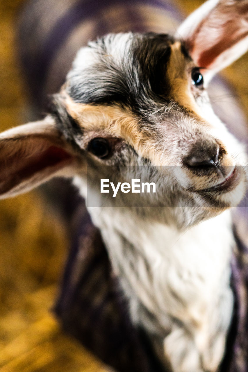 animal, animal themes, close-up, one animal, vertebrate, animal body part, mammal, focus on foreground, animal head, portrait, no people, domestic animals, animal wildlife, day, looking, pets, looking at camera, domestic, animals in the wild, animal eye, animal nose, animal mouth, herbivorous