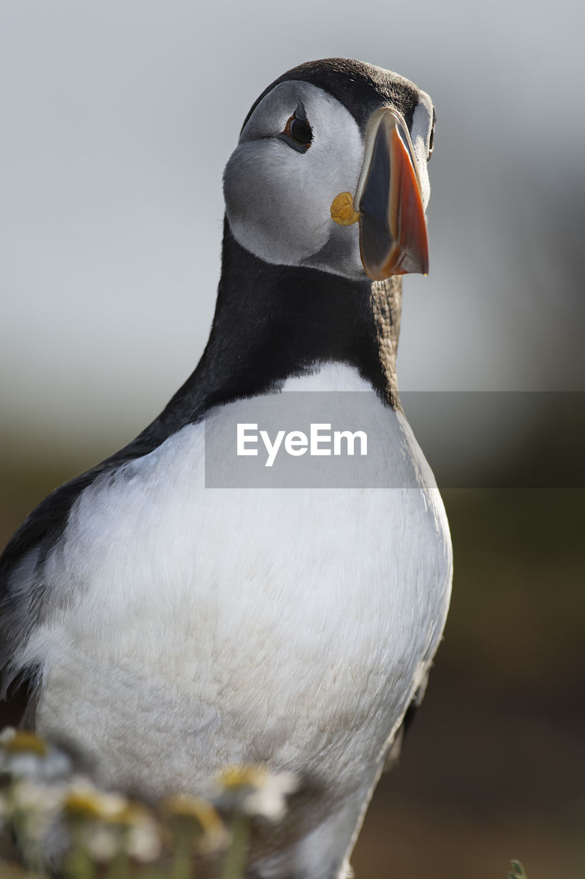 Close-up of puffin perching outdoors