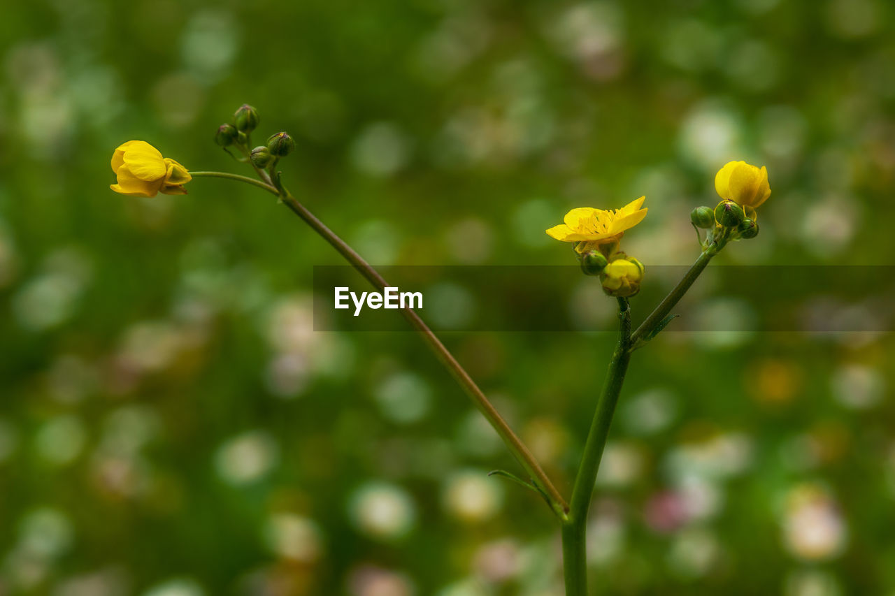 flower, flowering plant, plant, growth, beauty in nature, fragility, vulnerability, yellow, freshness, close-up, focus on foreground, plant stem, nature, no people, day, flower head, inflorescence, petal, outdoors, bud