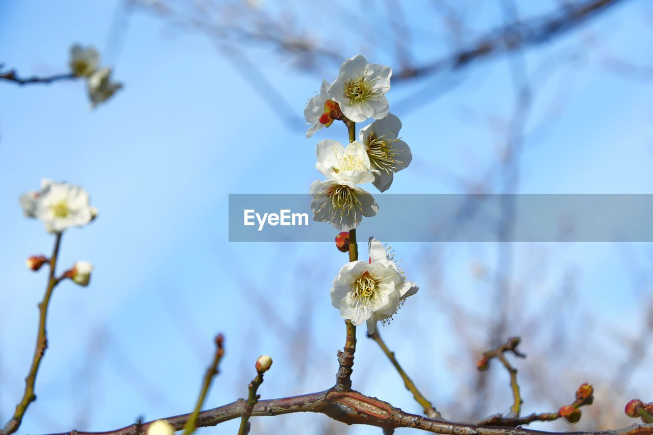 plant, flower, flowering plant, growth, beauty in nature, freshness, tree, vulnerability, fragility, focus on foreground, white color, springtime, blossom, branch, low angle view, close-up, no people, nature, twig, petal, flower head, pollen, cherry blossom, outdoors, plum blossom, cherry tree, spring