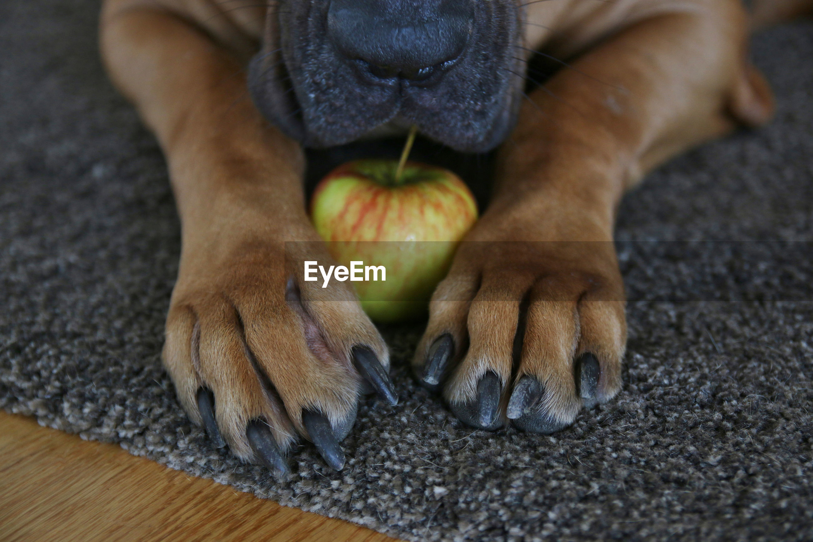 Close up of dog with apple