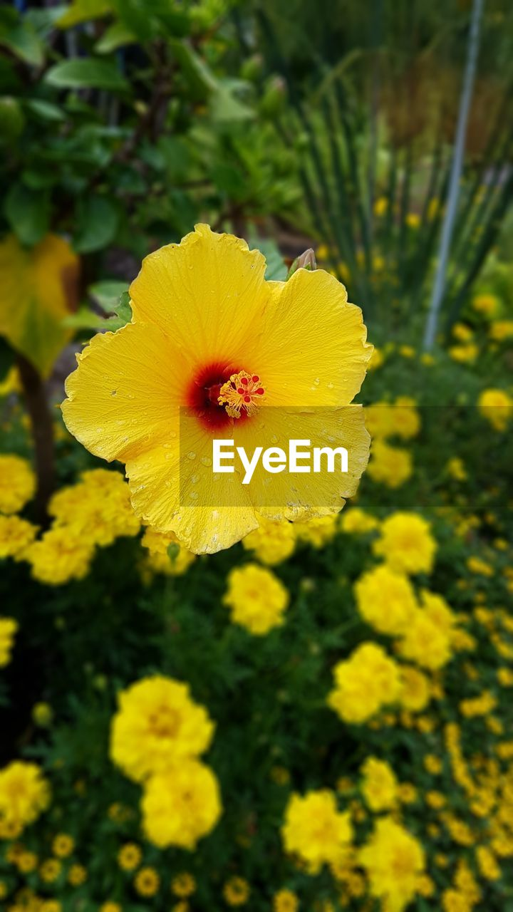 flower, yellow, petal, fragility, nature, beauty in nature, freshness, flower head, growth, plant, blooming, day, outdoors, no people, focus on foreground, close-up, hibiscus
