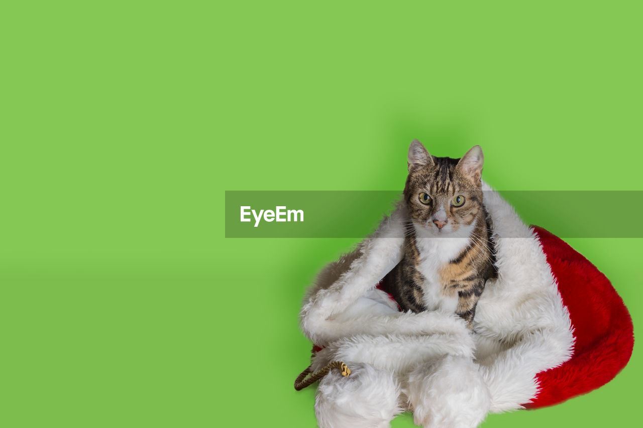 animal, mammal, animal themes, one animal, pets, copy space, domestic, colored background, feline, vertebrate, studio shot, cat, domestic animals, no people, domestic cat, indoors, animal wildlife, green color, looking at camera, green background, whisker