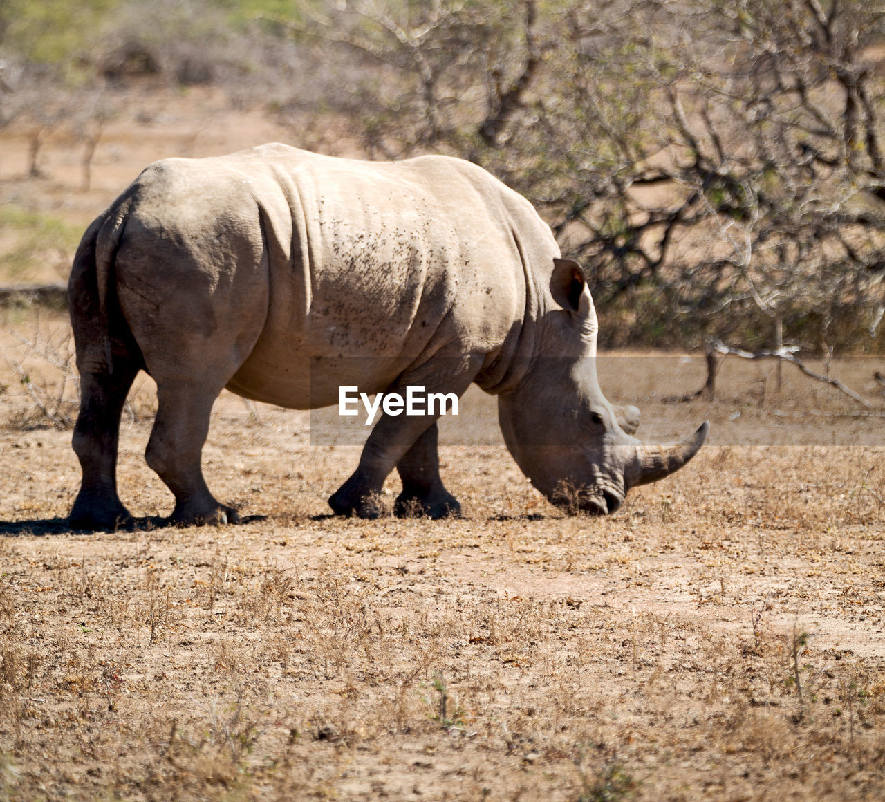animal themes, animal, mammal, animal wildlife, animals in the wild, vertebrate, one animal, nature, land, no people, day, domestic animals, field, full length, side view, standing, herbivorous, focus on foreground, livestock