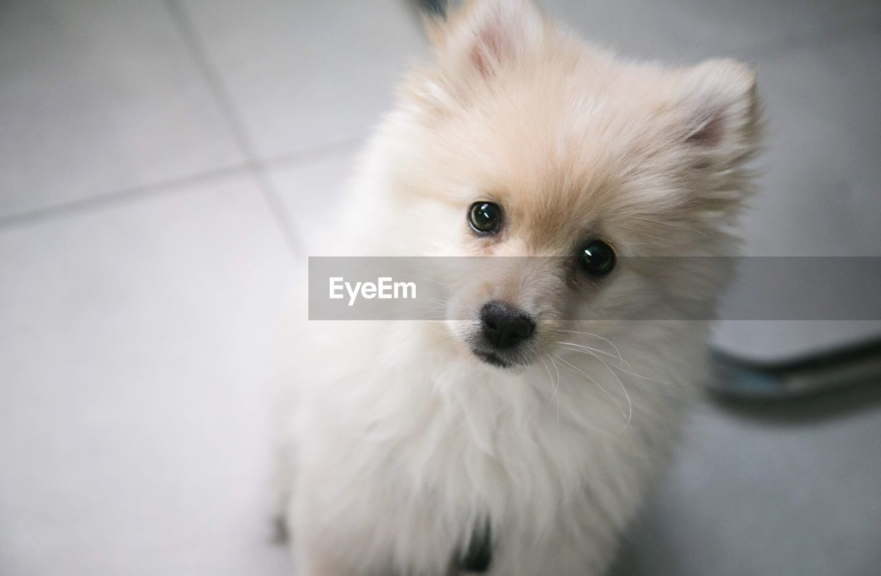 pets, domestic animals, one animal, mammal, dog, looking at camera, portrait, animal themes, pomeranian, close-up, indoors, no people, day