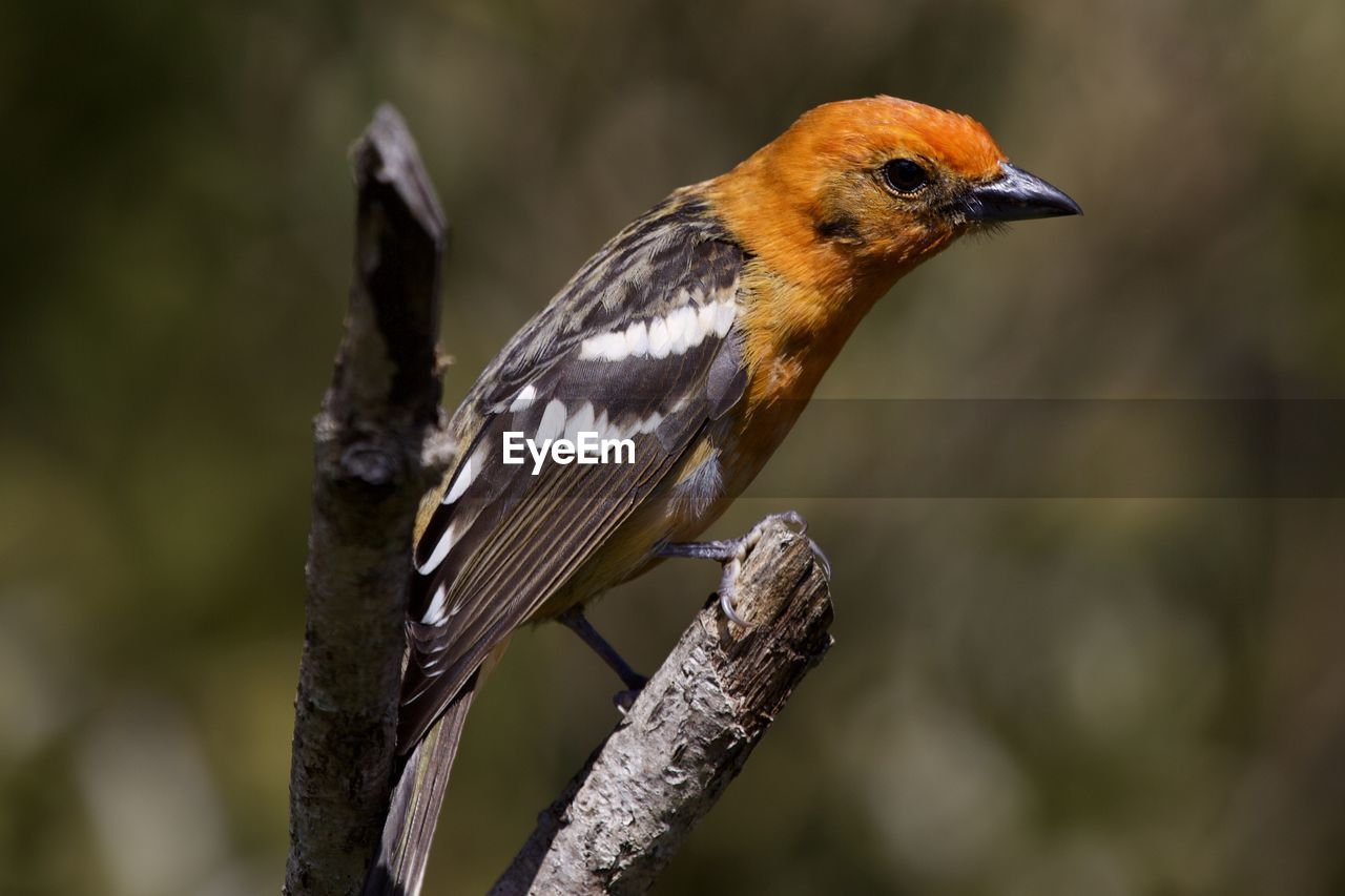 animal themes, one animal, animal wildlife, animals in the wild, animal, bird, vertebrate, focus on foreground, perching, close-up, no people, day, nature, outdoors, twig, beauty in nature, plant, branch, tree, robin
