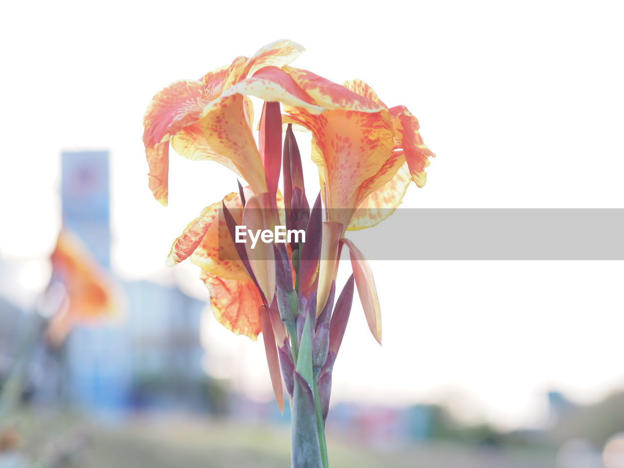 flower, petal, fragility, focus on foreground, nature, growth, flower head, beauty in nature, freshness, close-up, outdoors, no people, day, plant, blooming, day lily