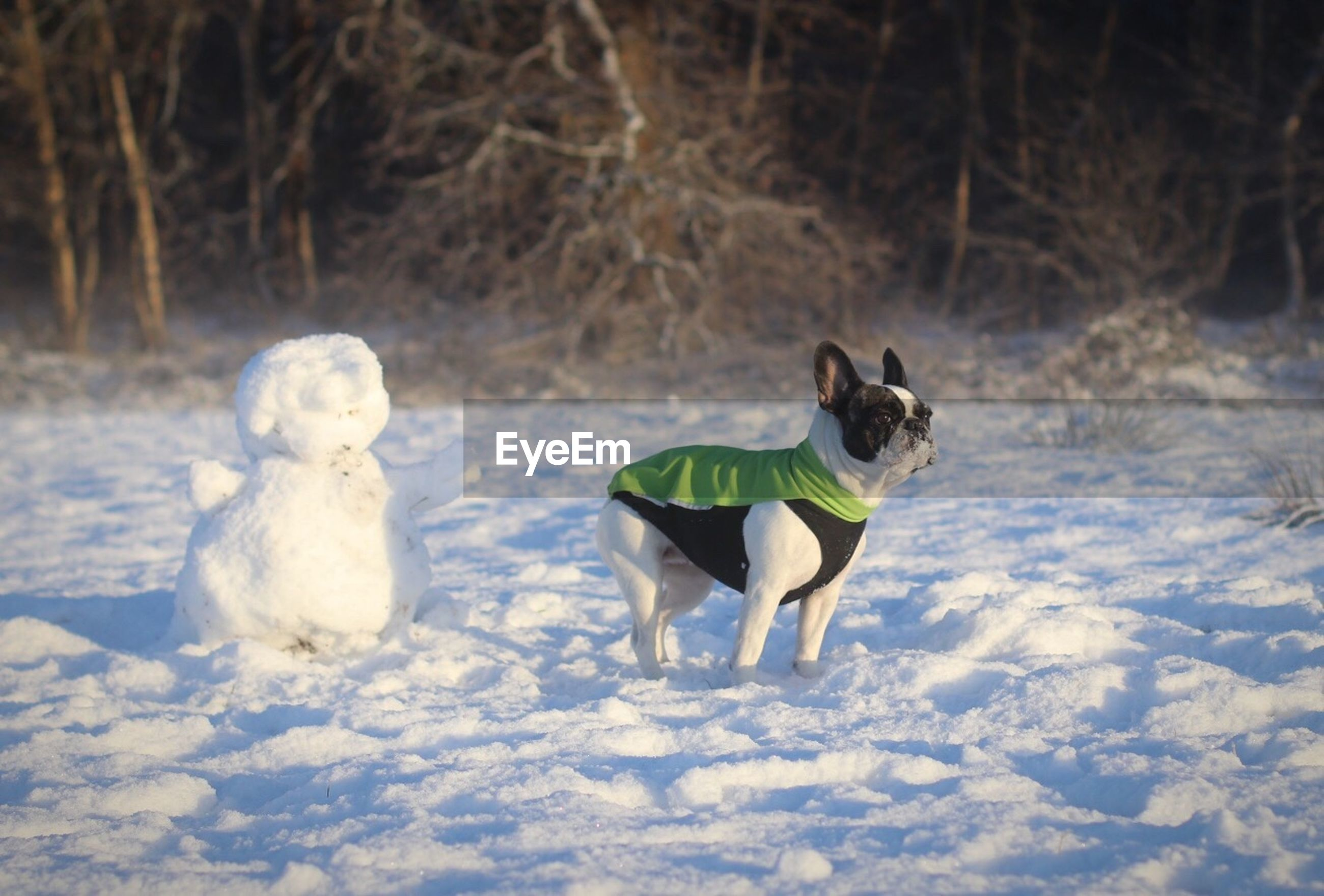 French bulldog on snow covered field