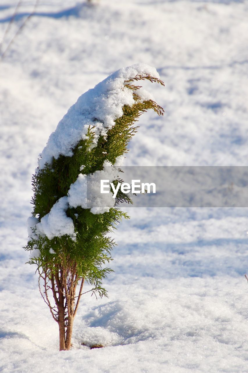 snow, winter, cold temperature, nature, white color, day, plant, frozen, focus on foreground, no people, covering, beauty in nature, close-up, outdoors, growth, tree, green color, field, tranquility