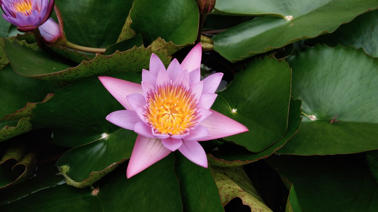 flower, flowering plant, plant, beauty in nature, petal, vulnerability, flower head, leaf, fragility, freshness, inflorescence, plant part, growth, close-up, water lily, pink color, pollen, nature, pond, no people, outdoors, lotus water lily, purple, floating on water