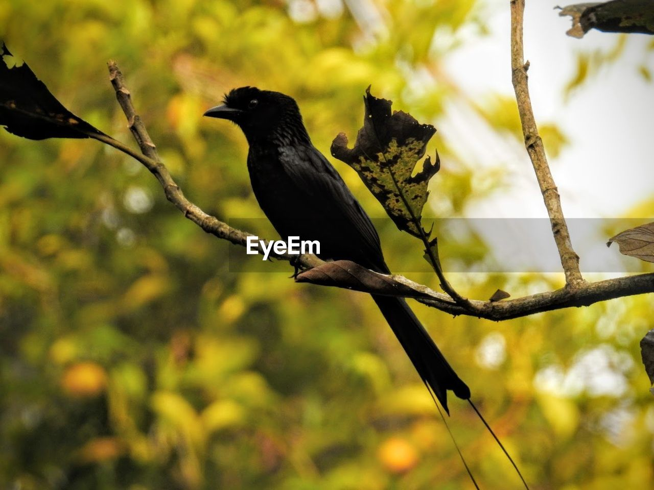 bird, animals in the wild, animal themes, perching, one animal, crow, animal wildlife, nature, blackbird, focus on foreground, branch, no people, black color, raven - bird, tree, day, outdoors, close-up