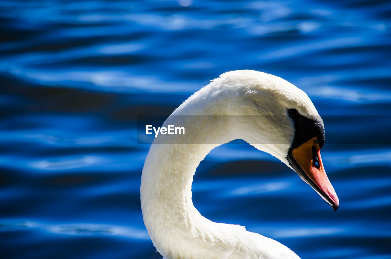 Close-Up Of Swan By Lake