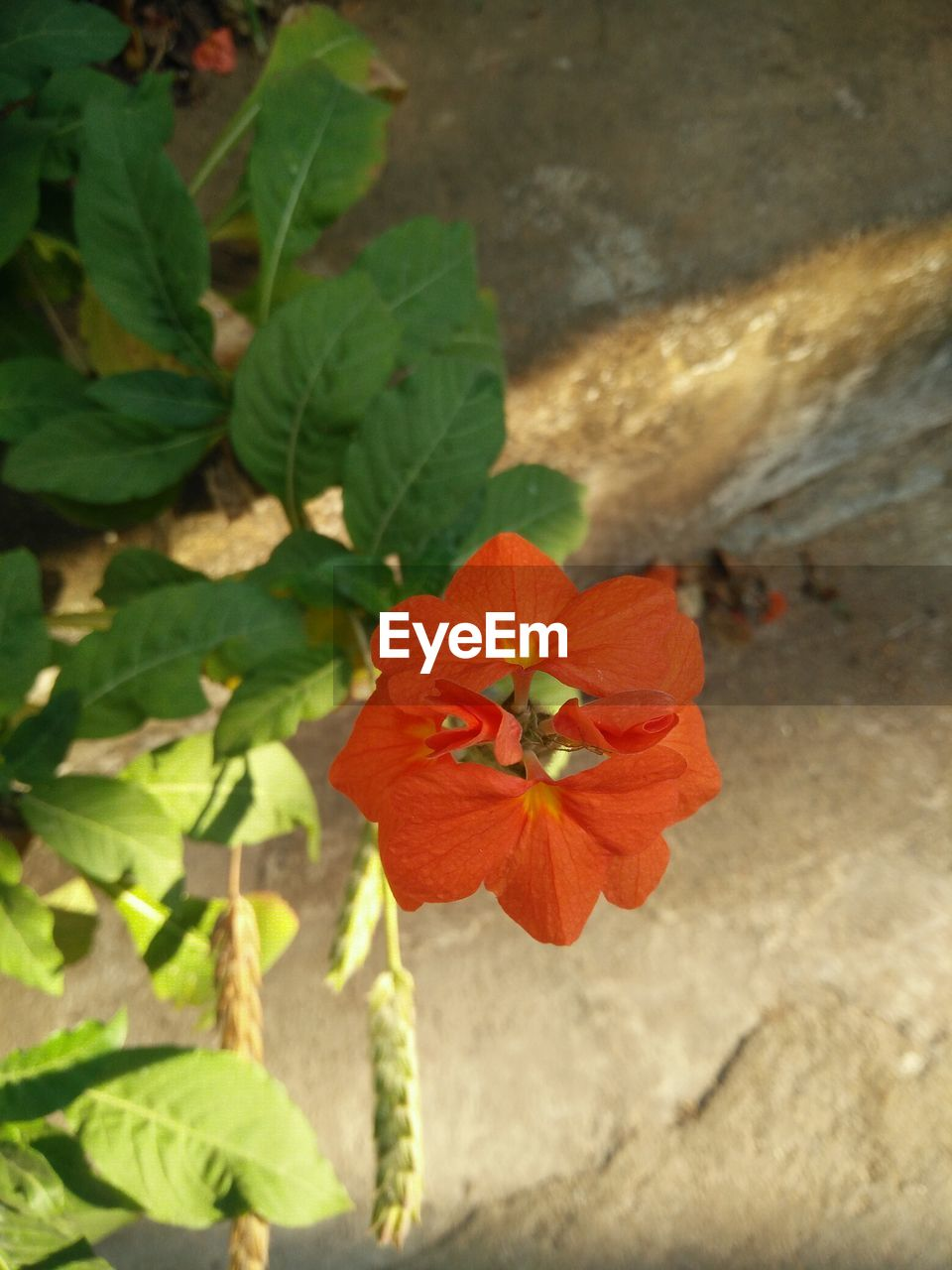 flower, plant, petal, nature, flower head, growth, day, beauty in nature, fragility, leaf, outdoors, no people, freshness, blooming, hibiscus, close-up, periwinkle