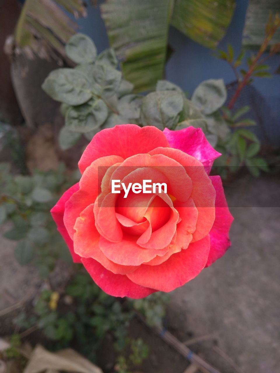 flower, flowering plant, plant, beauty in nature, vulnerability, fragility, petal, rose, inflorescence, freshness, flower head, rose - flower, close-up, pink color, growth, high angle view, focus on foreground, nature, red, no people, bouquet