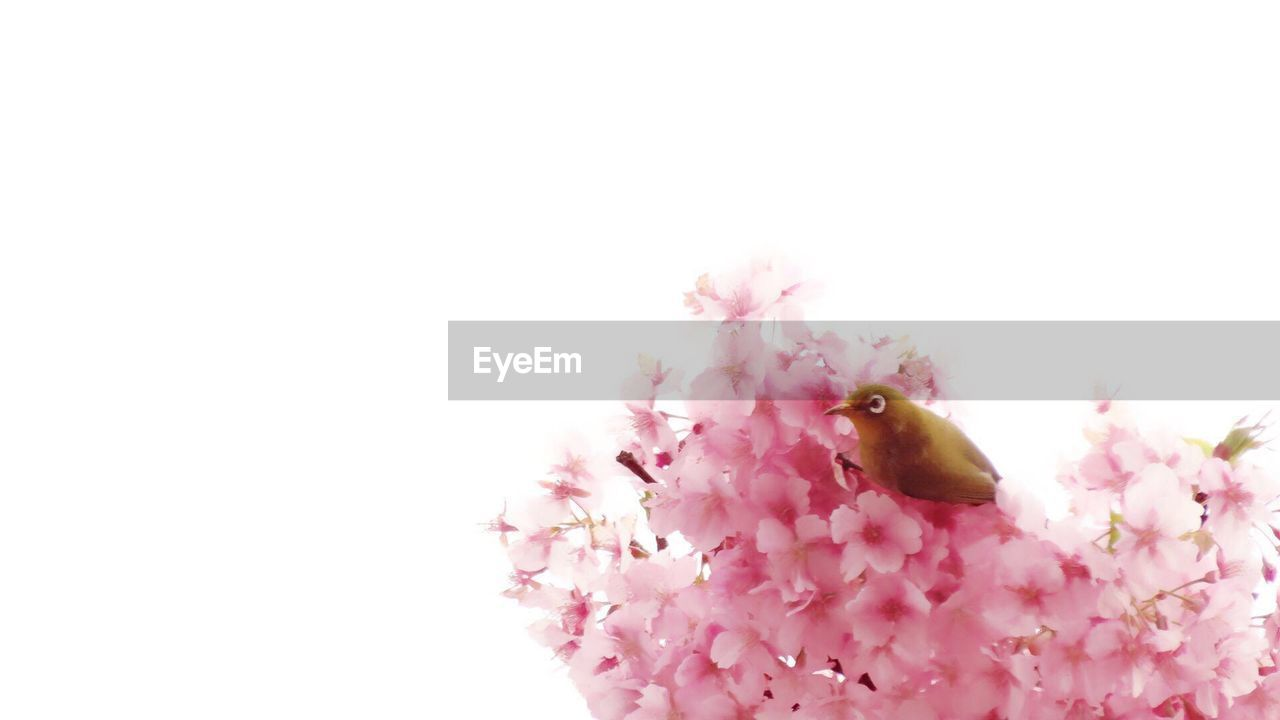 flower, pink color, one animal, fragility, petal, white background, copy space, studio shot, insect, animal themes, nature, freshness, no people, close-up, beauty in nature, animals in the wild, springtime, flower head, growth, bumblebee, bee, pollination, day, outdoors