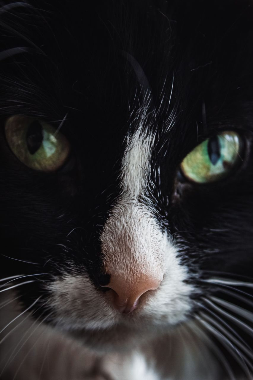 domestic, domestic animals, pets, domestic cat, cat, mammal, feline, animal themes, one animal, animal, vertebrate, close-up, no people, whisker, animal body part, looking at camera, portrait, indoors, eye, animal head, animal eye, animal nose, snout