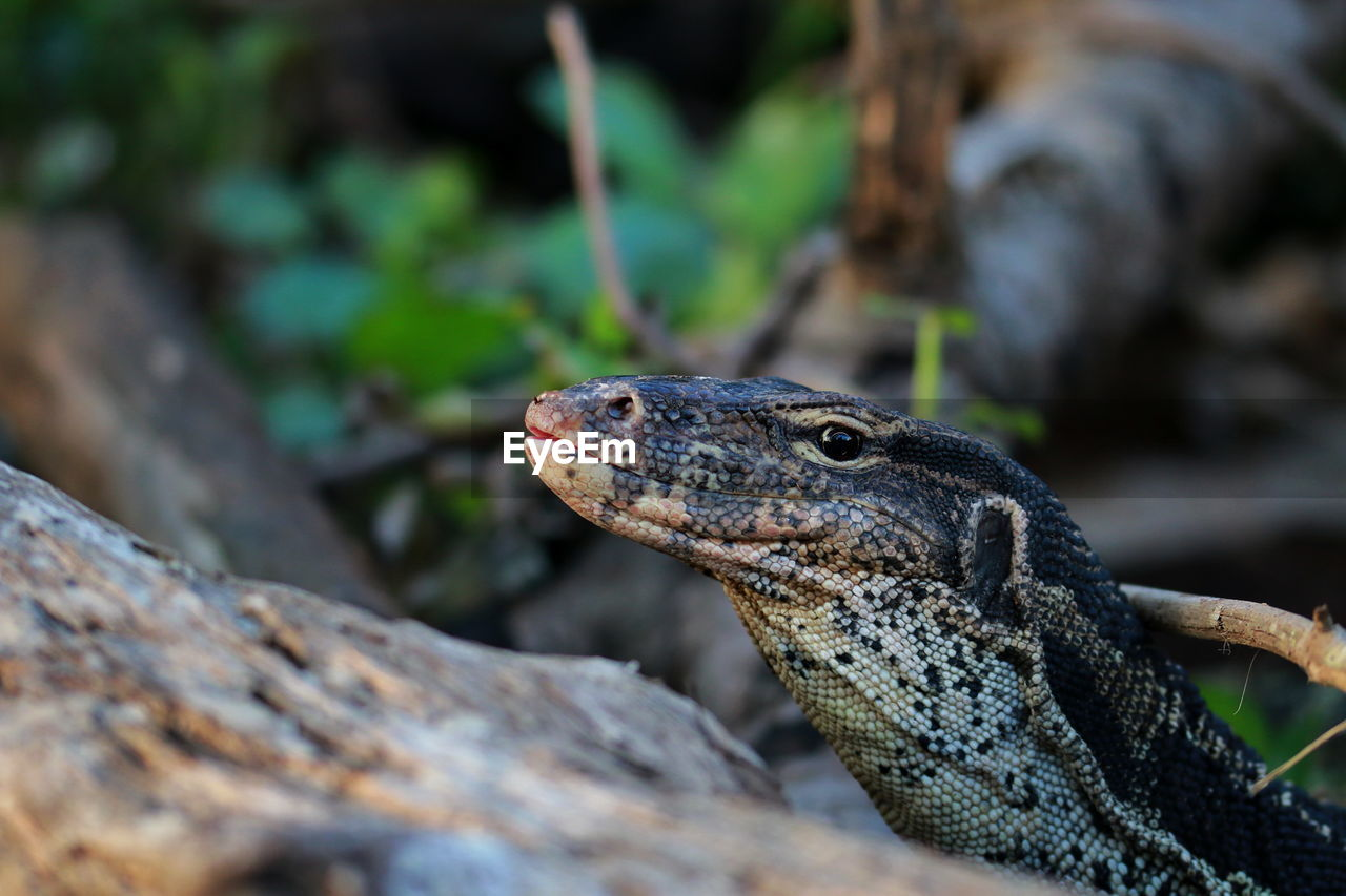 Close-Up Of Monitor Lizard On Rock